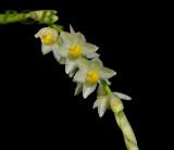Pholidota uraiensis, flowers 6 mm
