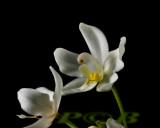 Spathoglottis eburneum flower 3½  cm