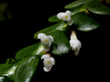 Angraecum bancoenses, flowers 3 mm