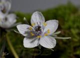 Ranunculaceae sp.