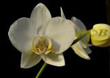 Phalaenopsis aphrodite ssp. formosana, one of the ancestors of the big white hybrids