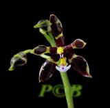 Phalaenopsis mannii, var.