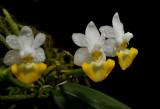 Phalaenopsis lobbii var. flavum
