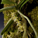 Diaphananthe xantropollinia, kwa Zulu Natal, flowers 5-6 mm