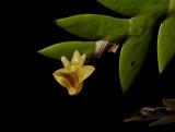 Dendrobium keithii, flower 1½ cm