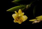 Dendrobium keithii, flower1½ cm