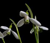 Breedbladig sneeuwklokje, Galanthus woronowii
