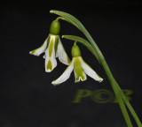 Galanthus plicatus var. South Hayes