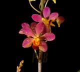 Doricentrum pulcherrimum, flowers 2.5 cm across
