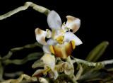 Phalaenopsis lobbii paloric.
