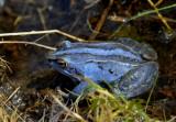 (smurf)blauwe heikikker, Rana arvalis