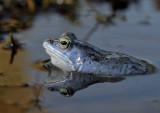 Heikikker, Rana arvalis, deze soort is 2-3 dagen blauw tijdens de paring