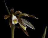 Nervillea plicata, 3 cm across