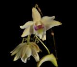 Dendrobium sp. flat bulbs