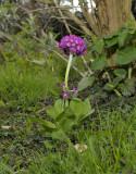Primula denticulata, kogelsleutelbloem