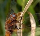 Blauwe ogen, libellula fulva