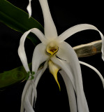 Dendrobium amboinense, in bloom only one night