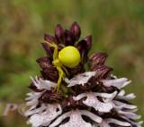 Kameleonspin op purperorchis, heeft (nog) niet de kleur van de orchidee aangenomen