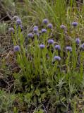 Kogelbloem, Globularia punctata