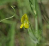 Naakte lathyrus bloem, Lathyrus aphaca