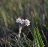 Rozekransje mannelijke bloeiwijze, Antennaria dioica - male flower