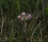 Rozekransje vrouwelijke bloeiwijze, Antennaria dioica - female flower