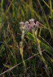 Rozekransje vrouwelijke bloeiwijze, Antennaria dioica