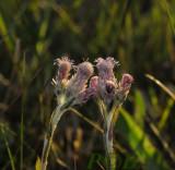 Rozekransje vrouwlijke bloeiwijze,  Antennaria dioica - female flower