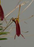 Trisetella abbreviata, height of flower  1.5 cm