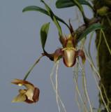 Epigeneium chapaense, flowers 2 cm