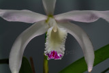 Cattleya perrinii, semi-alba