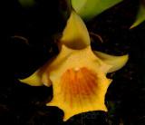 Plectrophora suarezii,  flower 3 cm