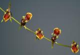 Sigmatostalix eliae,  flowers 1 cm