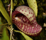 Zootrophion serpentinum, flower 3 cm
