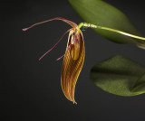 Restrepia  orchids