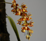 Rudolfiela saxicola, flowers  2 cm