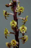 Malaxis lowii, flowers 5 mm