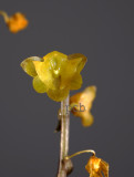 Malaxis sp. flower 7 mm