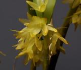 Octomeria sp.  flowers  0.75 cm