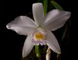 Cattleya alaorii