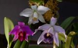 Three botanic forms of Cattleya pumilo