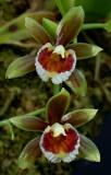 Cischweinfia sp.  flowers 2 cm