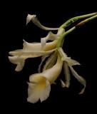 Trichopilia laxa,flowers  4 cm