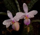 Phalaenopsis lindenii, botanic , 3 cm
