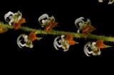Ornithocephalus bicornis, close, flowers  3 mm