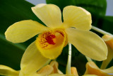 Dendrobium sulcatum, Ueang Champa Nan