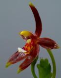 Phalaenopsis cornu-cervi, dark