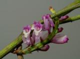 Schoenorchis juncifolia, flowers 5 - 6 mm