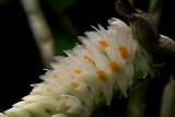 Dendrobium secundum, close