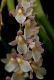 Capanemia superflua, flowers 9-10 mm